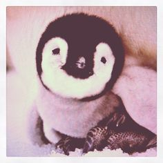 Baby penguin. OH. MY. Gosh. Ughhh my heart so cute!!!!!!!!!!!!!!!!!!!