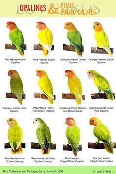 bird chart of lovebirds | Pinost 22nd December 2011 ni jun