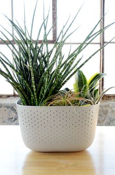"""We planted a Wally Eco in Stone with a 4"""" snake plant (Sansevieria Laurentii), a 6"""" snake plant (Sansevieria Cylindrica), and tucked in a couple of air plants (Tillandsia Usneoides) for good measure."""