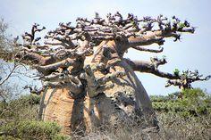 Baobab - Affenbrotbäume
