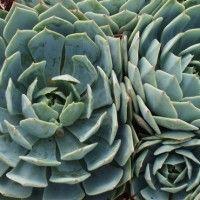 Echeveria Subalpina