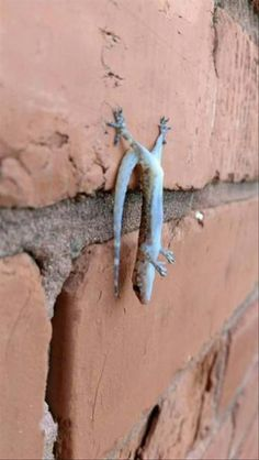Whoops! A gecko lost his footing.