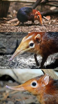 The black and rufous elephant shrew (Rhynchocyon petersi), also known as the black and rufous sengi, is one of 17 species of elephant shrew found only in Africa. Interesting Animals, Unusual Animals, Rare Animals, Cute Baby Animals, Animals And Pets, Funny Animals, Strange Animals, Unusual Pets, Small Animals