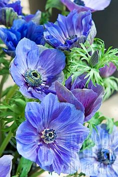 Anemone Coronaria Jerusalem Blue - Szukaj w Google