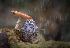 Cute Little Owl Uses...