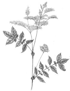 Lizzie Harper botanical illustration of meadowsweet