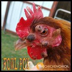 Fowl pox is a highly contagious viral infection in poultry that causes painful sores on a chicken's skin. Also referred to as Avian Pox, Sorehead, Avian Diphtheria and Chicken Pox, it is unrelated to human chicken pox and cannot be contracted by people from birds. Fowl pox occurs in two forms, Dry and Wet pox and while there is no cure, Fowl Pox can be prevented and the symptoms, treated.