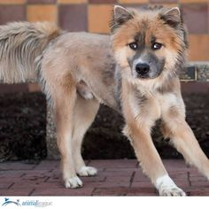 What a beautiful dog! Biscuit is a super fluffy 1-year old male Chow/Husky mix. He is great with other dogs and will do best in a home with children over 12. Biscuit is not a fan of cats. He loves lots of playtime, chasing the ball, and ear scratches. Come meet him at 25 Davis Ave, Port Washington NY.