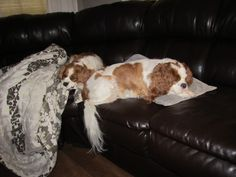 Cavalier King Charles Spaniel Accessories that You Will Love | 50 Things to Know Reviews