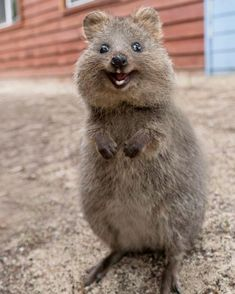 Looking so adorable quokka Cute Little Animals, Cute Funny Animals, Happy Animals, Animals And Pets, Quokka Animal, Cute Australian Animals, Little Critter, Tier Fotos, My Animal