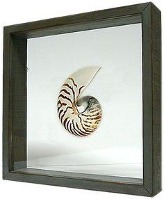 Natural Nautilus Under Glass by Cottageandbungalow.com