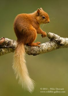 Red Squirrel  Scottish Highlands. They are endangered and there are road signs reminding motorists to drive cautiously so as not to hit one.