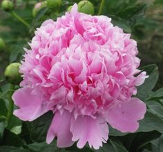 Did you know that peonies are called the century plant? They will live quite happily if given morning sun; about 2 cups of bonemeal in early spring; and a good trimming around Halloween: all the way back to the ground. They are my favorite flower. I have a collection of 11 different peonies: there are hundreds more!