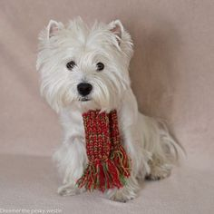 Tis the season for scarf weather. How do I look? (Dreamer the pesky westie fb)