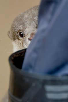Otter Shyly Hides Behind Human's Boot — The Daily Otter Otters Cute, Baby Otters, River Otter, Sea Otter, Cute Funny Animals, Cute Baby Animals, Wild Animals, Otter Love, Safari