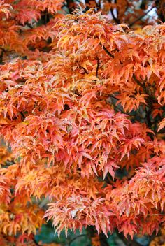 Shishigashira Japanese Maple Acer palmatum 'Shishigashira' - Green leaves become purple-red with orange red patterns in the fall - accent tree on front slope Japanese Tree, Japanese Maple, Japanese Gardens, Trees And Shrubs, Trees To Plant, Dwarf Trees, Potted Trees, Maple Trees Types, Plant Catalogs