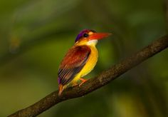 Oriental Dwarf-kingfisher (Ceyx erithaca) 拍寿带时偶然飞来。棕背三趾翠鸟 Rufous-backed Kingfisher (Ceyx rufidorsa)。
