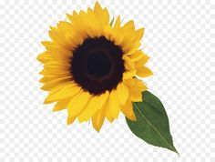 Stock photography Clip art - Sunflower with Leaf Clipart Sunflower Leaves, Sunflower Seeds, Leaf Clipart, Clipart Images, Halloween Tumblr, Png Tumblr, Psychedelic Artists, Computer Icon, Flower Backgrounds