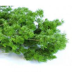 Ming fern stabilisé sur infinienature.com