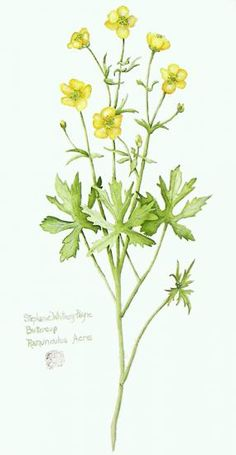 buttercup leaves - Google Search