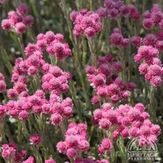 Antennaria dioica 'Rubra'. A tough plant suited to hot sunny locations and poor soil, forms a creeping mat of silvery leaves. Short stems of fuzzy pink flowers appear in late spring. Perfect for sunny rock gardens or between paving stones.  Easily divided in spring by simply ripping the clump apart into smaller pieces. Cut or mow off flower stems after blooming.  A North American native wildflower.