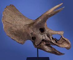 63231: Dinosaur Skull Cast Triceratops horridus Late Cr : Lot 63231  If you love Jurassic Park, coming up in Dallas Sept 12