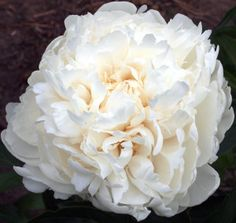 Pretty Penny - This fat and scrumptious, attention-getting bloom is massive in size and impact. Pretty Penny's can help make your party an event to remember. White Peonies, Flower Bouquet Wedding, Bloom, Romantic, Make It Yourself, Bridal, Rose, Pretty, Plants
