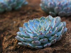 Echeveria cuspidata var. zaragozae has narrower, white to pinkish leaves. Leaves are at their brightest from autumn to spring, and are...