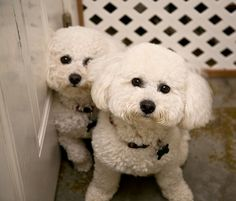 Bichons - by Author/Photographer Mark J Asher