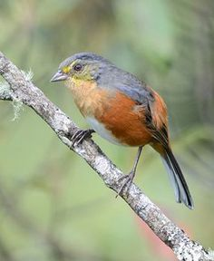 Buff-throated Warbling-finch (Poospiza lateralis) by Bruno Rennó