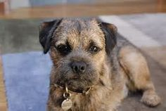 Some of the Border Terrier's talents include: hunting, tracking, watchdog, agility, competitive obedience and performing tricks.
