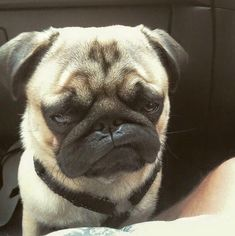 All I desire for Christmas in a ton of pugs. Doug The Pug - Christmas Pugs All I want for Christmas in a ton of pugs. Funny Dog Faces, Funny Dogs, Funny Animals, Cute Animals, Animals Dog, Animals Images, Pug Love, I Love Dogs, Cute Dogs