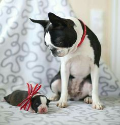 The Boston Terrier breed originated in Boston and is one of the few breeds that are native to the U. In the an inter-mixing of English Bulldogs Terrier Breeds, Terrier Puppies, Dog Breeds, I Love Dogs, Cute Dogs, Boston Terrier Love, Red Boston Terriers, Mans Best Friend, Dog Cat