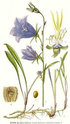 561 Campanula persicifolia.jpg