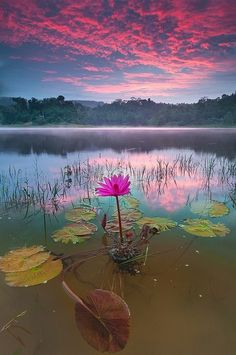 magnifique photomagnifique lotus on lake -ayalacenterblognet #pink clouds, forest; pink lotus; lily pads