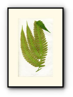 Edward Joseph Lowe Fern (Pteris Biaurita) Antique Botanical Print, 1857 1st edition. Wood Block Engraving, Book Plate by TheOldMapShop on Etsy