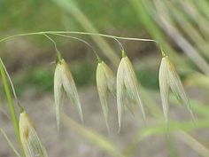 Βοτανολόγιο: Αγριόχορτα - Δείκτες κατάστασης στο χωράφι και τον κήπο