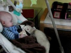 Ferret stealing baby's toy  love this video!