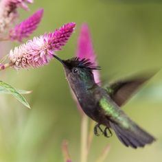 a Crested Antillean hummingbird (the male has the crest, the female is smaller, plainer and has a longer beak) All Birds, Little Birds, Love Birds, Beautiful Birds, Hummingbird Pictures, Bee Eater, Colorful Birds, Exotic Birds, Wild Nature
