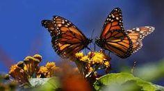 mariposas monarcas moradas - Buscar con Google