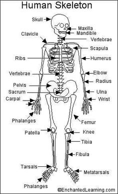 skeleton system - Skeleton Worksheet