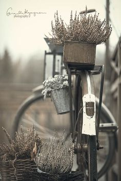 vintage bike with lavender in the baskets
