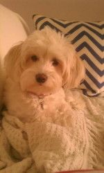 Dutchess is an adoptable Maltese Dog in Davie, FL. IMPORTANT; WE ADOPT ONLY IN SOUTH FLORIDA BUT MAKE SOME EXCEPTIONS IN APPROXIMATE AREAS OF Naples, Ft. Myers, Sarasota, Tampa, St. Pete, Lady Lake, T...