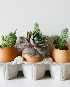 Egg succulents would look cute on a kitchen bench!