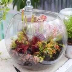 Carnivorous terrarium