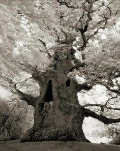 Древние деревья: портреты времени.