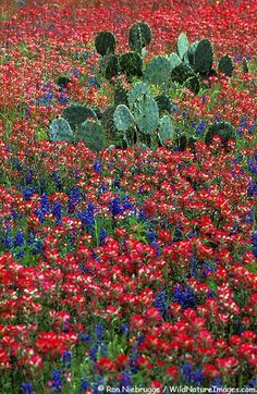 Texas wildflowers. Blue bonnets and indian paint, I miss this!!