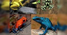 These frogs are known as the jewels of the rainforest, but can cause death or serious discomfort to an unwary victim. Frog Life, Poison Dart Frogs, Zoology, Science And Nature, Amphibians, Predator, Hanging Out, Mother Nature, Animal Pictures