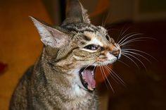 9 sonidos de gatos y qué significan - mascotaking