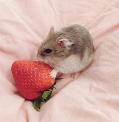 cosette ☁️ she/her ☁️ 16 Funny Hamsters, Cute Ferrets, Cute Rats, Dwarf Hamsters, Super Cute Animals, Cute Baby Animals, Animals And Pets, Small Animals, Baby Hamster
